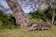 Wild Giant Anteater Marching in Tropical Setting Royalty Free Stock Photos