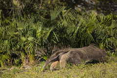Wild Anteater Strolling by Fan Palms Stock Photos