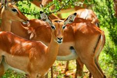 Wild antelope Stock Image