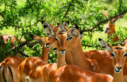 Wild antelope Royalty Free Stock Photography