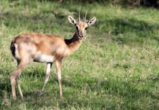 Wild antelope. Looking beautiful in summer afternoon Stock Photo