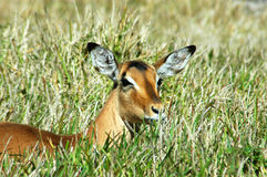 Wild antelope in grass stock images