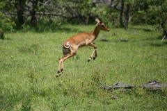 Wild Antelope Mammal In African Botswana Savannah Royalty Free Stock Photos