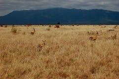 Wild antelope on the safari. In Kenya near mountains Stock Image