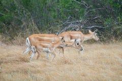 Wild Antelope Stock Photography