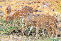 Wild antelopes Royalty Free Stock Image