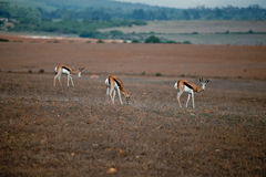Wild antelopes Royalty Free Stock Photo