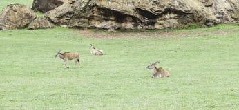 Wild antelopes Stock Images