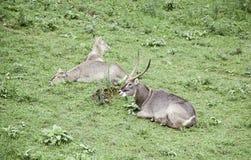 Wild antelopes Royalty Free Stock Photography