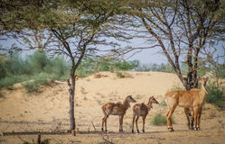 Wild Antelopes Royalty Free Stock Photography