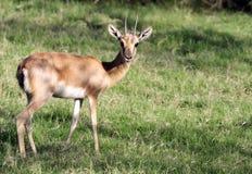 wild antilop Arkivfoto