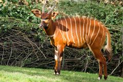 wild antilop Royaltyfri Fotografi