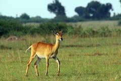 Wild ANTILOPN in the Steppe of Africa Uganda. Namibia Royalty Free Stock Image