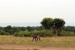 Wild ANTILOPN in the Steppe of Africa Uganda. Namibia Royalty Free Stock Photo