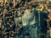 Wild ants build their anthill, big piece of charred wood. Royalty Free Stock Photo