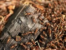 Wild ants build their anthill, big piece of charred wood. Stock Photos