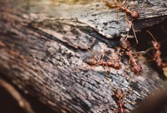 These wild ants go out for food and are walking on the trees. These wild ants go out for food and are walking on the trees Stock Photography