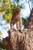 wild apa Royaltyfri Fotografi