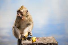 wild apa Fotografering för Bildbyråer