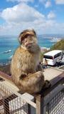 Wild Ape in Gibraltar