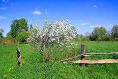 Wild aple tree Stock Image