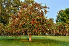 Wild Apple Royalty-vrije Stock Foto