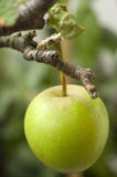 Wild apple Stock Photography