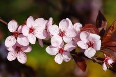Wild apple Royalty Free Stock Image