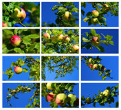 Wild apple. Collage set in sweden Royalty Free Stock Photo