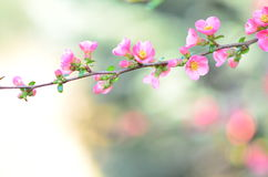 Wild apple blossom Royalty Free Stock Images