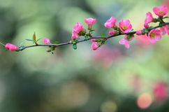 Wild apple blossom in pink Stock Photography