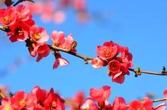 Wild apple blossom Royalty Free Stock Photos