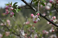 Wild apple blossom stock photography