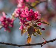 Wild apple flowers Stock Photos