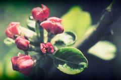 Wild apple flowers Stock Image