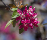 Wild apple flowers Stock Images