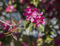 Wild apple flowers Royalty Free Stock Photography