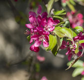 Wild apple flowers Royalty Free Stock Images
