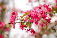 Wild apple flowers Stock Photo