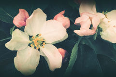 Wild apple flowers vintage filter Royalty Free Stock Photo
