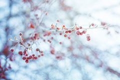 Wild apple with frost Stock Photography