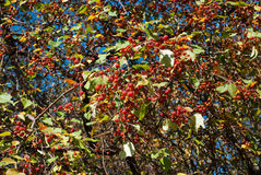 Wild apple tree Stock Image