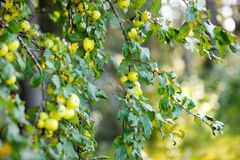 Wild apple tree on autumn day Royalty Free Stock Photo