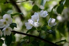 Wild apple tree white flowers Stock Photography