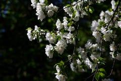 Wild apple tree white flowers Stock Photo