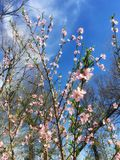 Wild apple tree blooming in the Illinois woods in Spring. stock photos