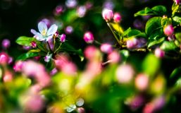 Apple tree blooming in pink royalty free stock image