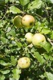 Wild apple Stock Photos