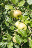 Wild apple Stock Image