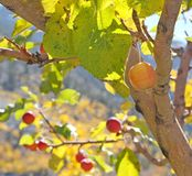 Wild apple tree in fall Stock Photos